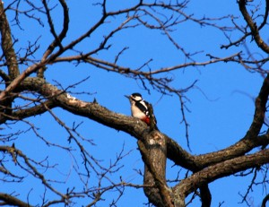 Woodpecker at Claylands Green